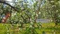 りんごの花28.4.20.jpg